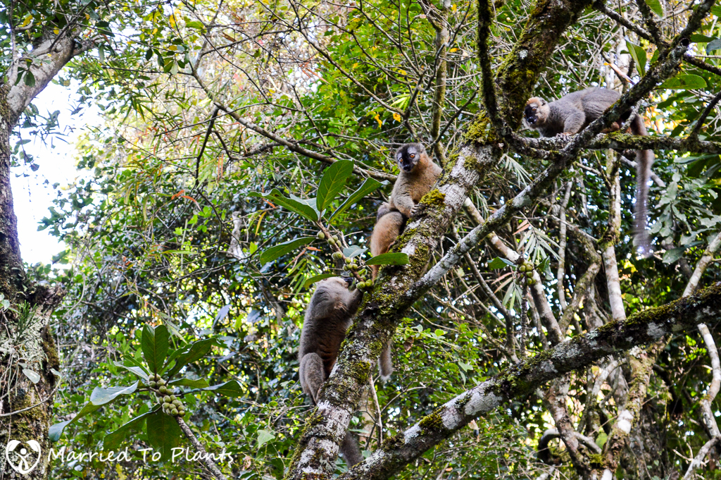Red-fronted Lemur at Ranomafana