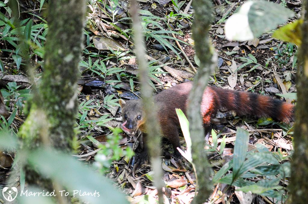 Ring-tailed Mongoose at Ranomafana