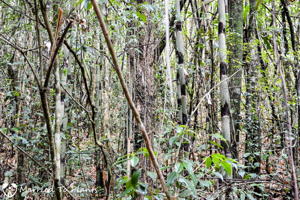 Bamboo Forest at Ranomafana