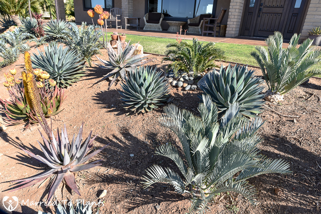 Agave 'Blue Glow' in Landscape