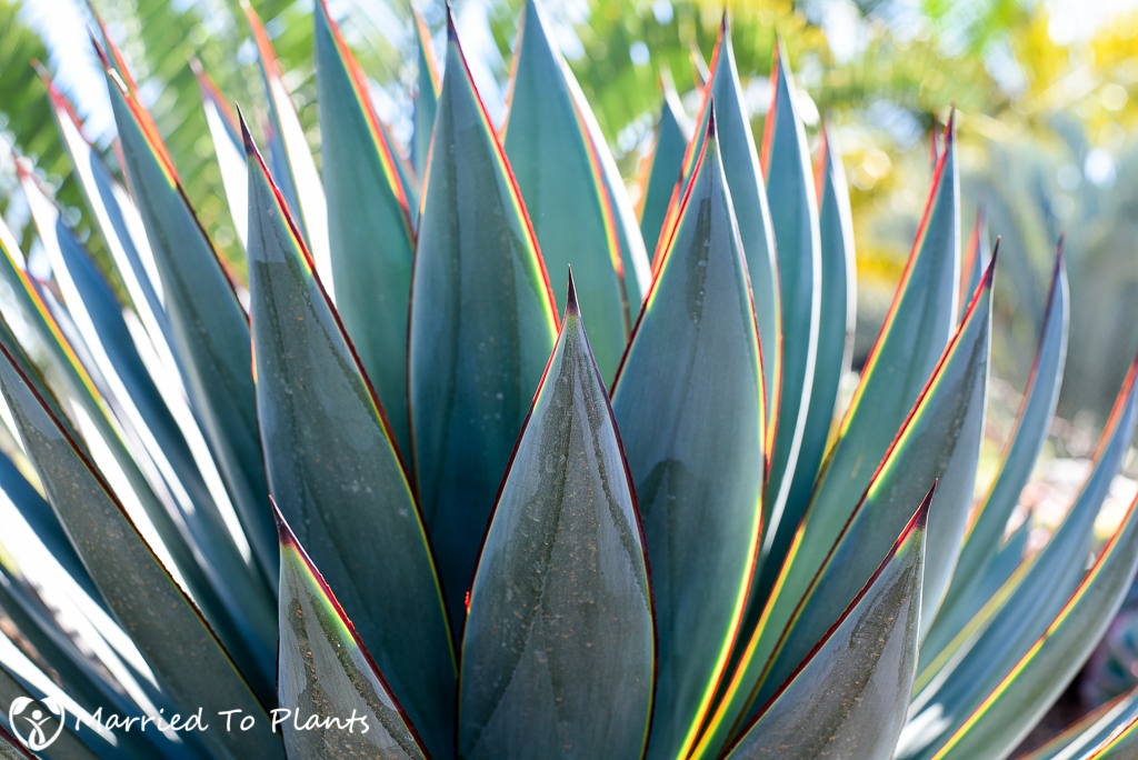 Agave 'Blue Glow' Sunset