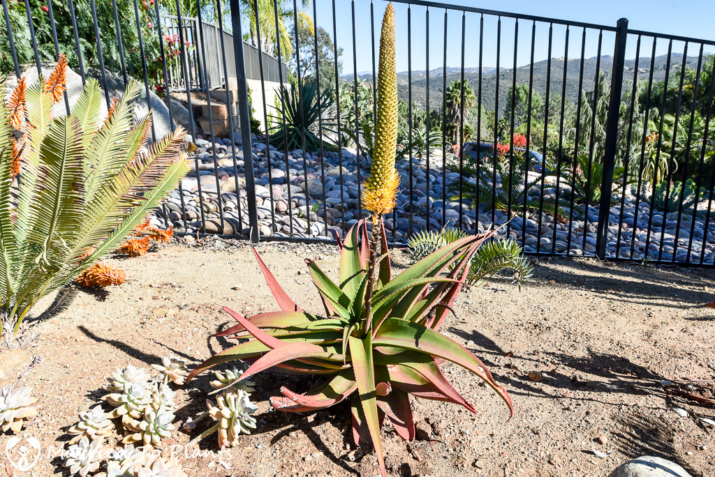 Aloe tauri Flowering