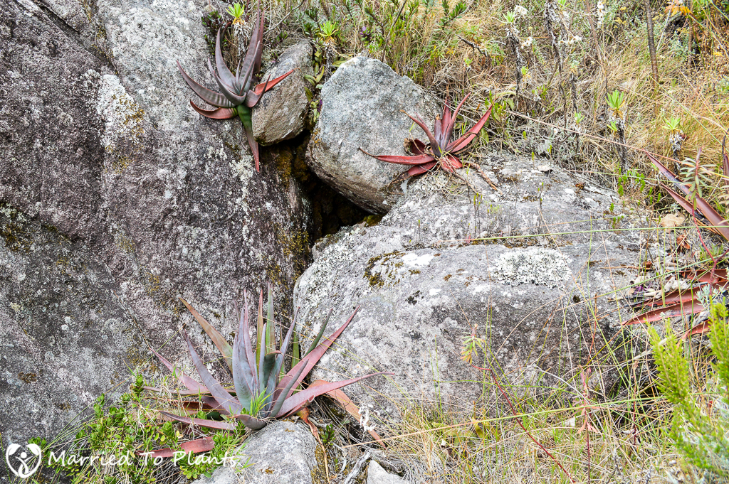 Aloe andringitrensis on Path to Peak Boby