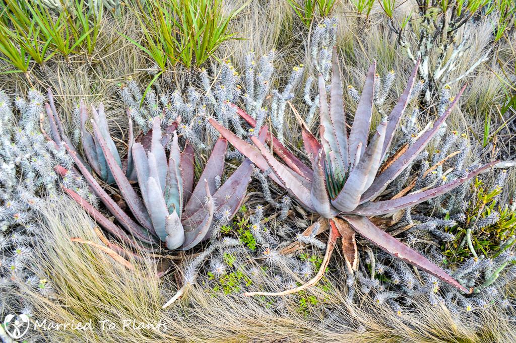 Aloe capitata at Anja Reserve
