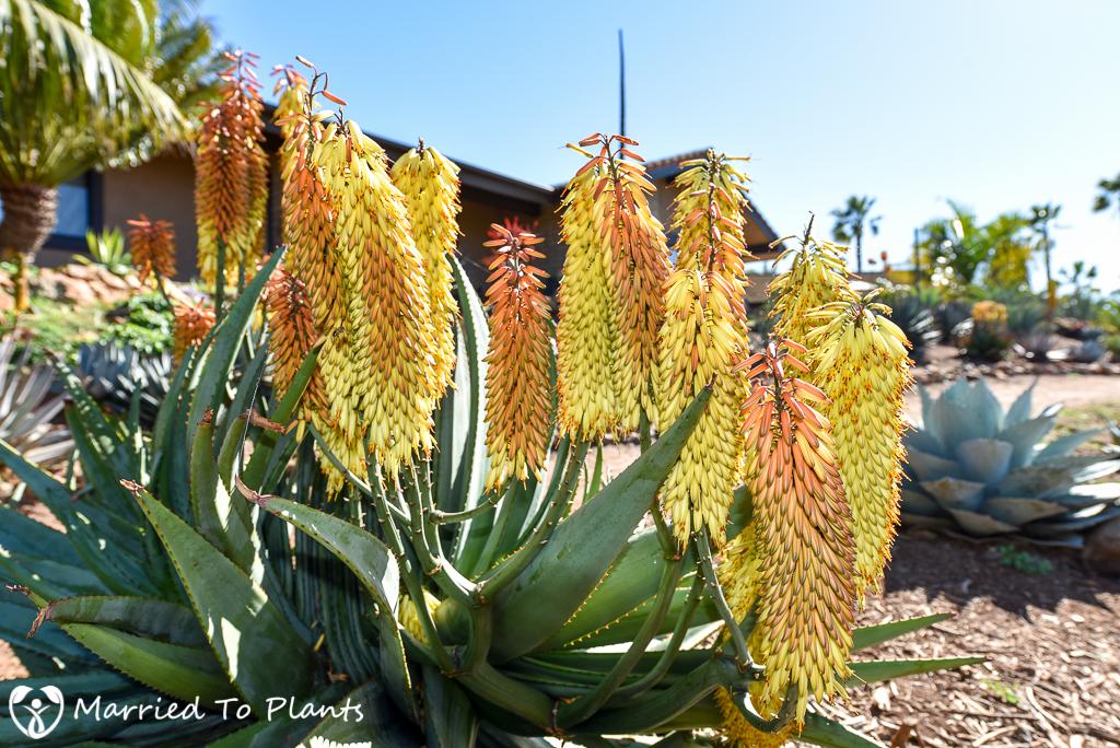 Aloe capitata x ferox Hybrid