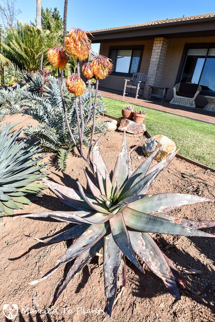 Aloe capitata var. quartziticola