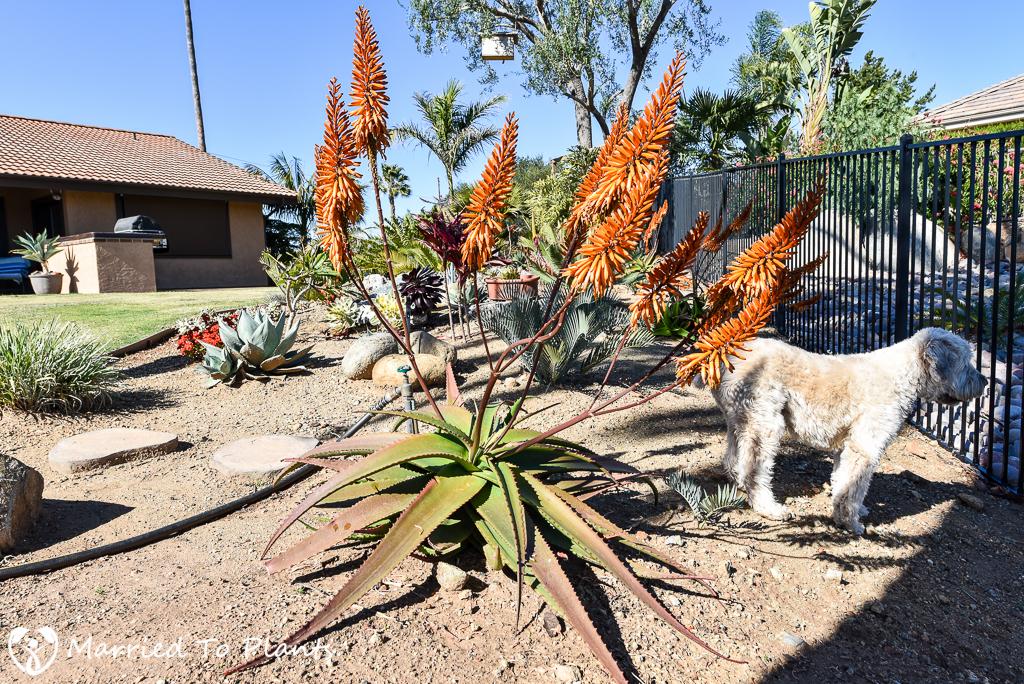 Aloe ferox Hybrid