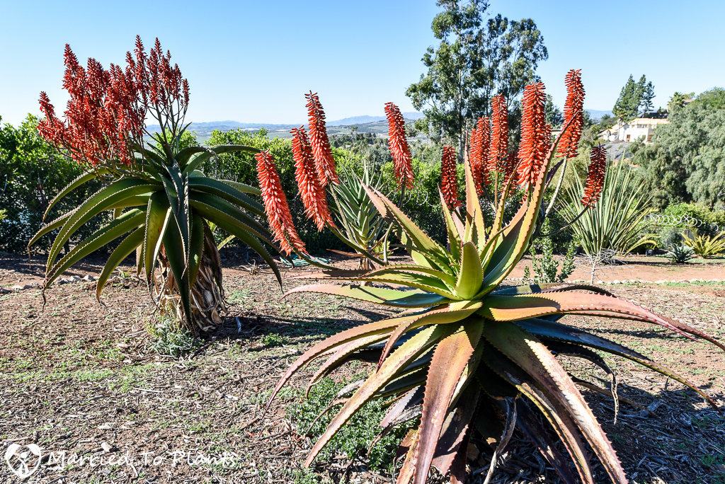 aloe hybrids the chaos has only just begun. Black Bedroom Furniture Sets. Home Design Ideas