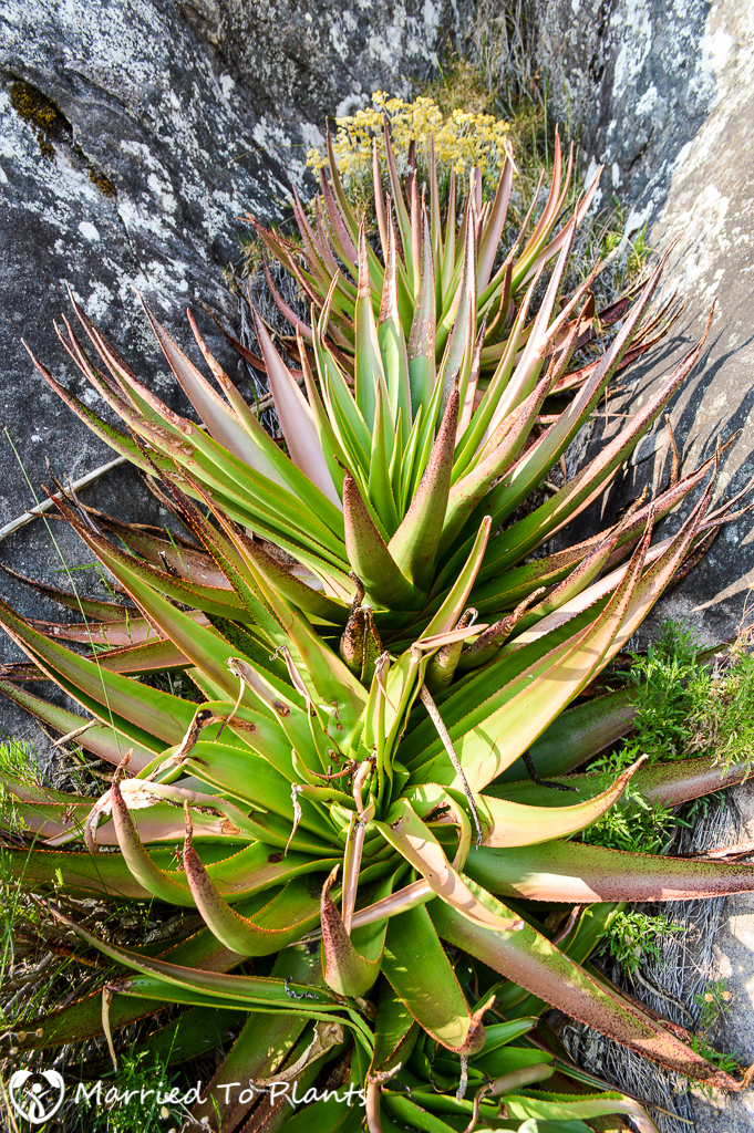 Aloe johannis-philippei