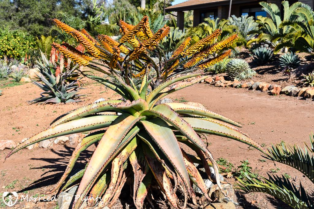 Aloe marlothii Flowering