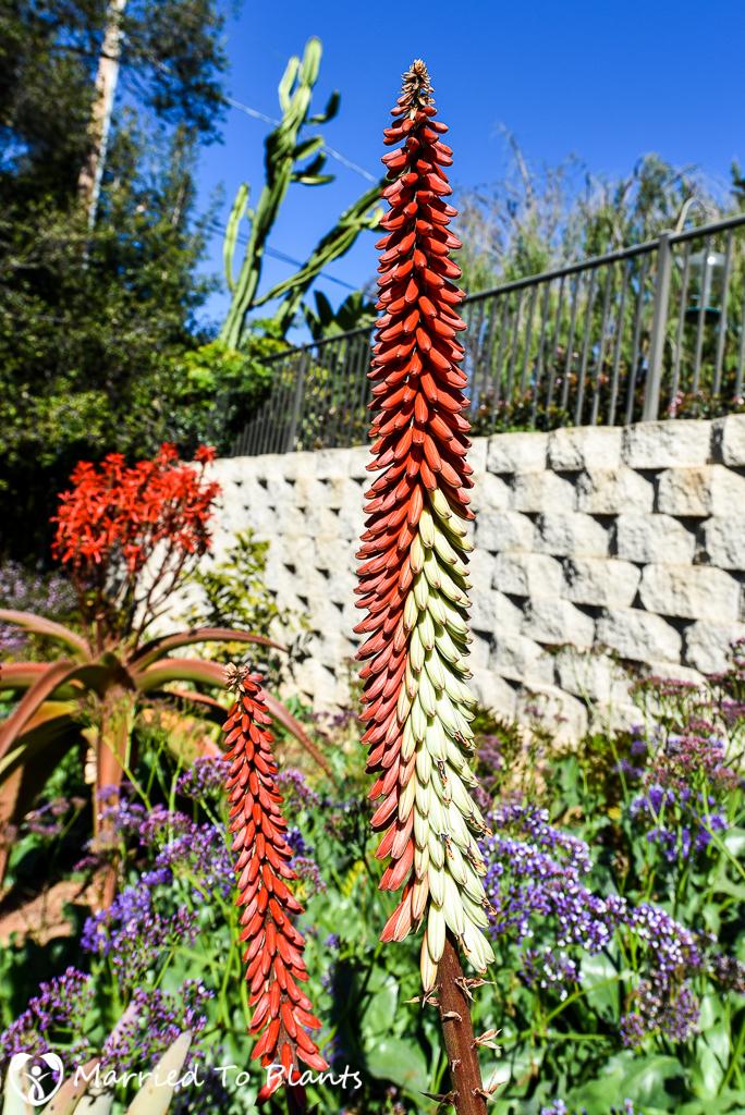 Aloe petricola Flowers