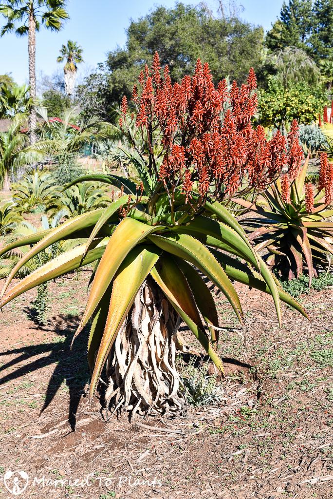 Aloe vaombe Flowering