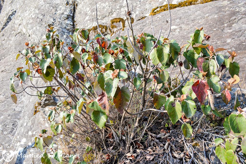 Andringitra macrantha on Peak Boby