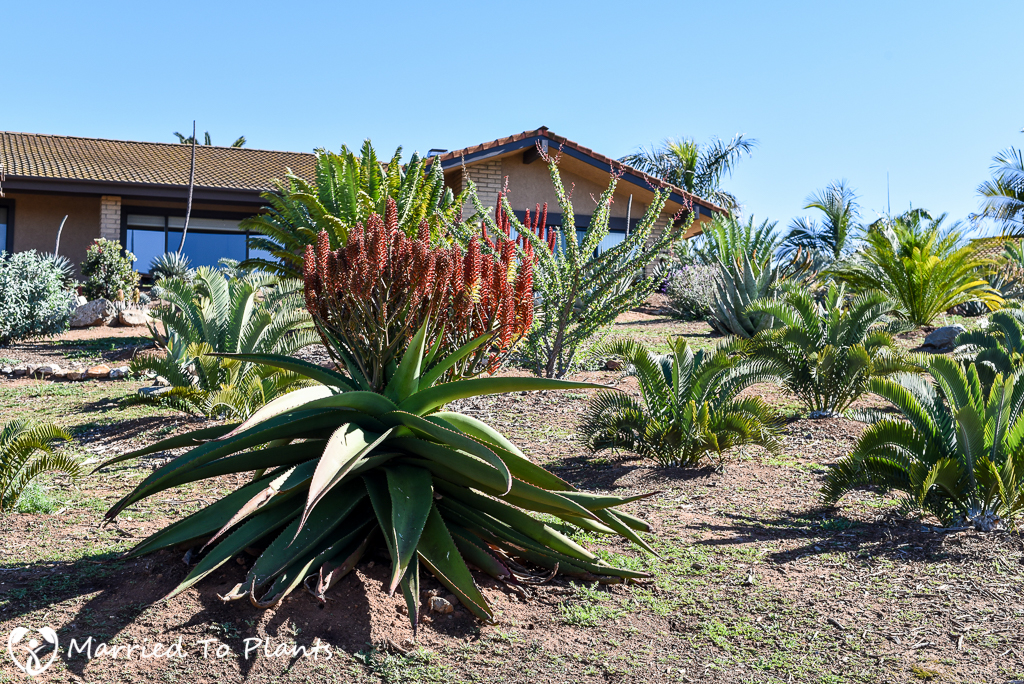 De Jong Yard Aloes and Cycads