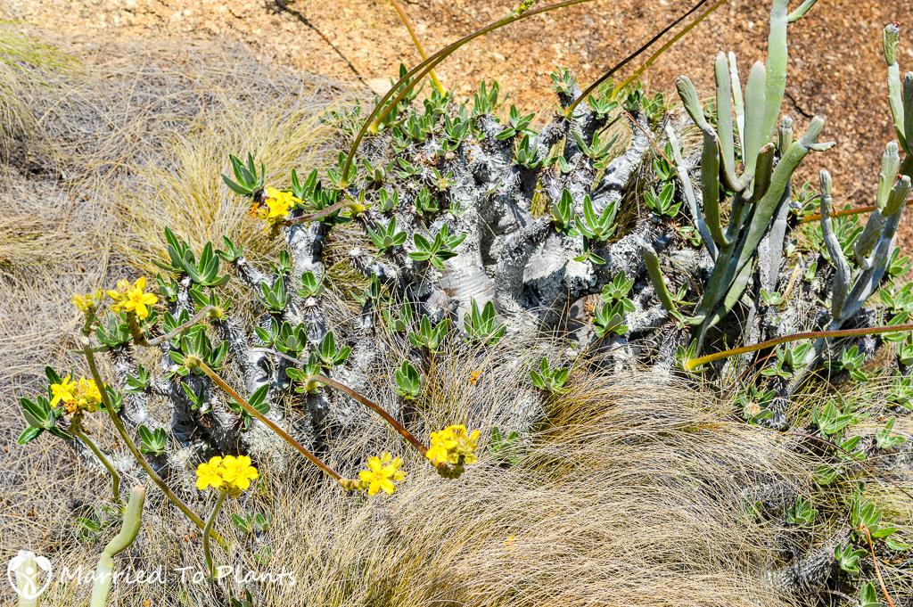Pachypodium rosulatum at Anja Reserve