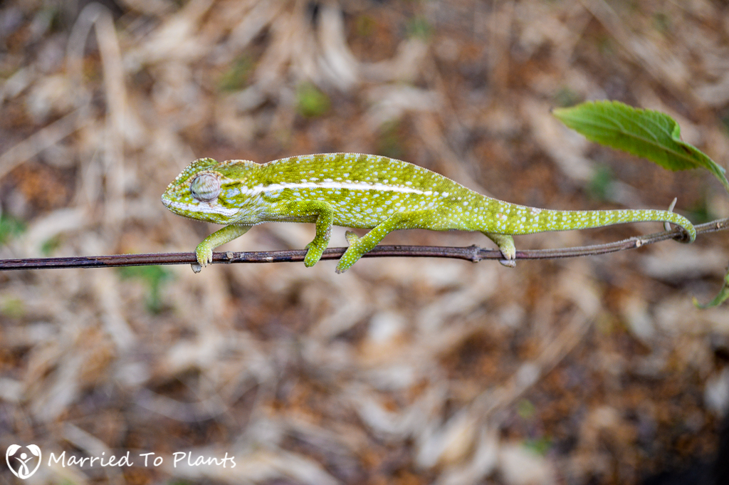 Jeweled Chameleon (Furcifer lateralis) in the Anja Reserve