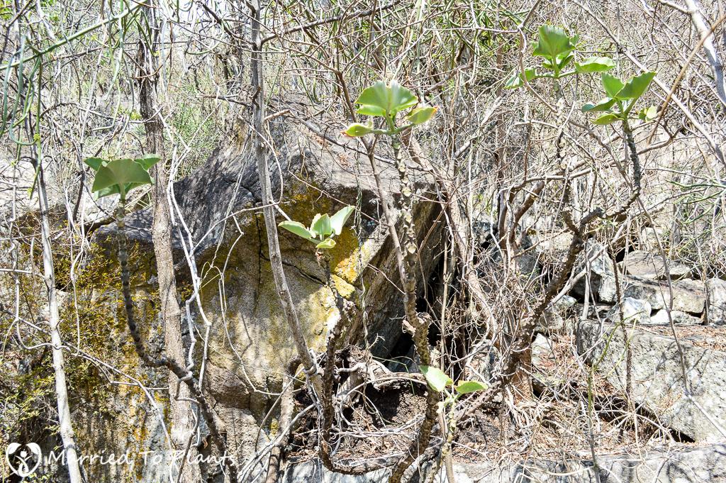 Kalanchoe beharensis at Anja Reserve