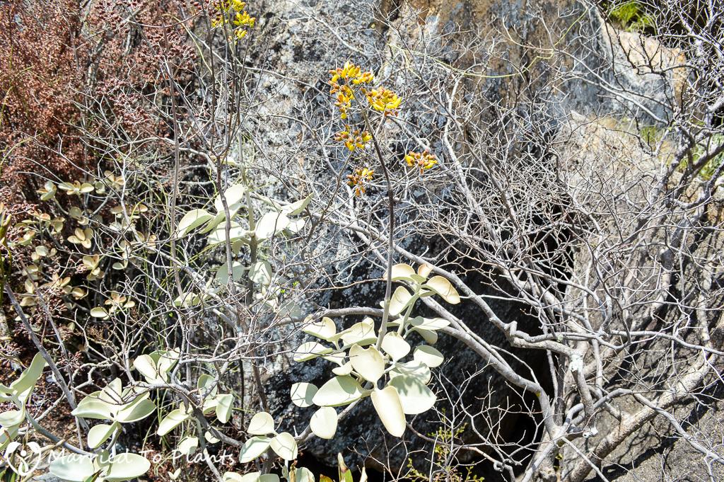Kalanchoe orgyalis at Anja Reserve