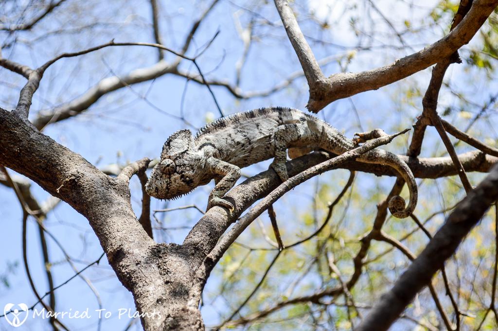Oustalet's Chameleon at Anja Reserve