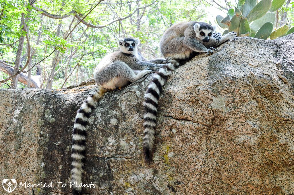 Ring-tailed Lemur's at Anja Reserve