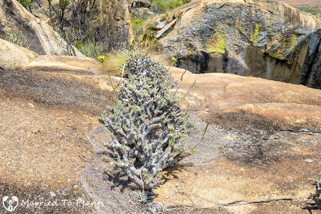 Pachypodium at Anja Reserve
