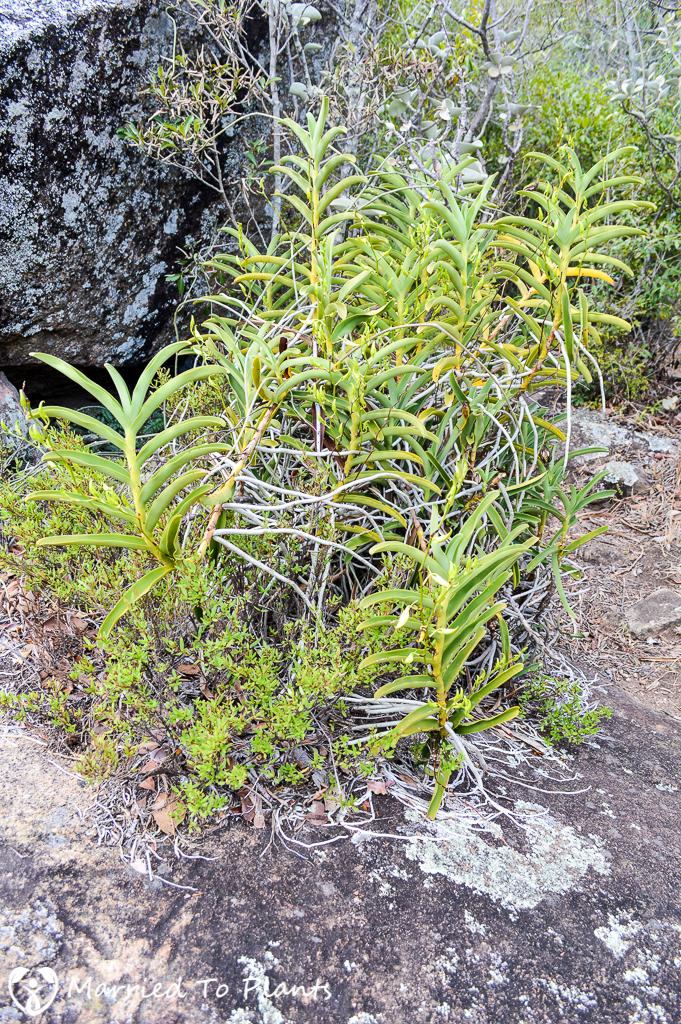Sobennikoffia humbertiana orchid at Anja Reserve
