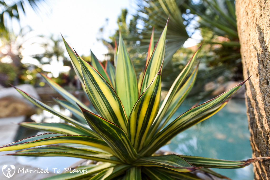 Striata Variegation Agave 'Blue Glow'
