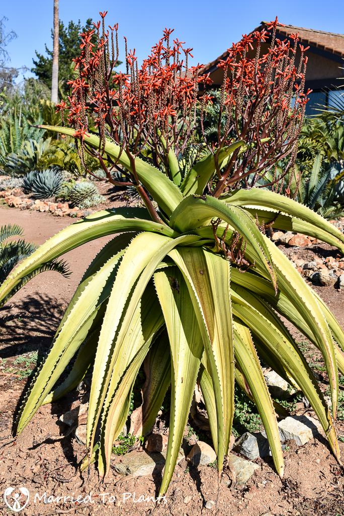 Variegated Aloe vaombe Flowering