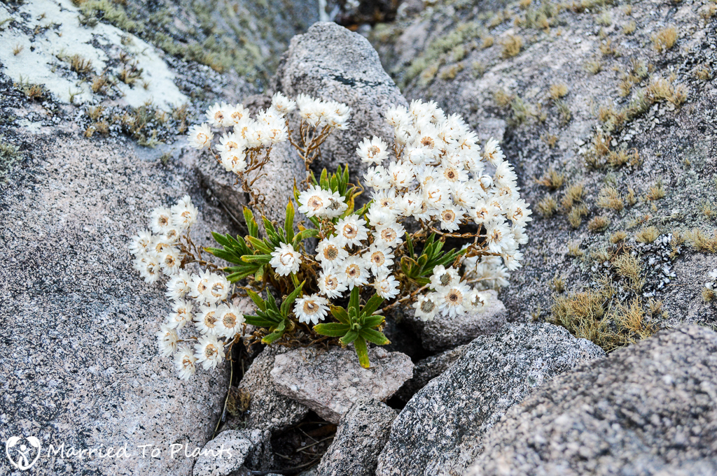 White Flowers on Peak Boby Summit
