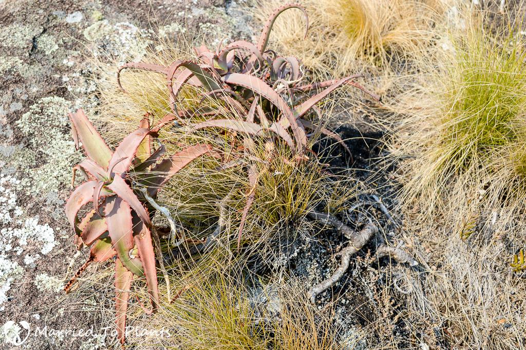 Aloe acutissima in Andringitra