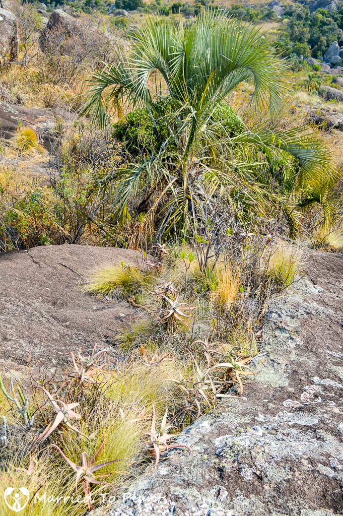 Aloe acutissima and Ravenea glauca in Andringitra