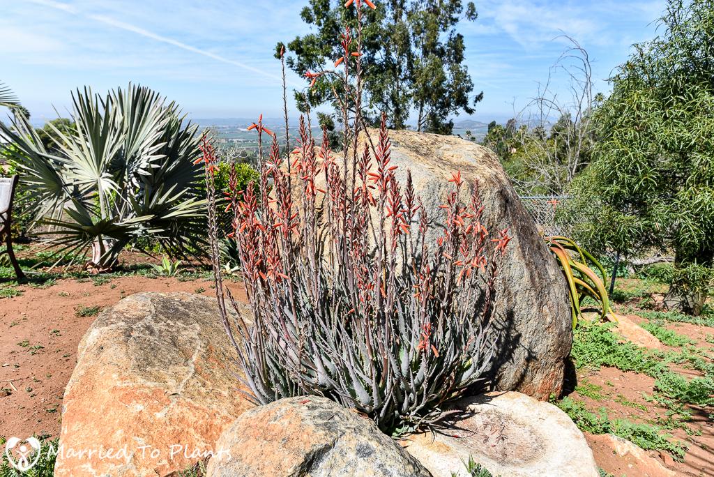 Aloe 'Blue Elf' Flowering