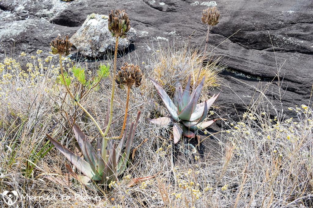 Aloe capitata in Andringitra
