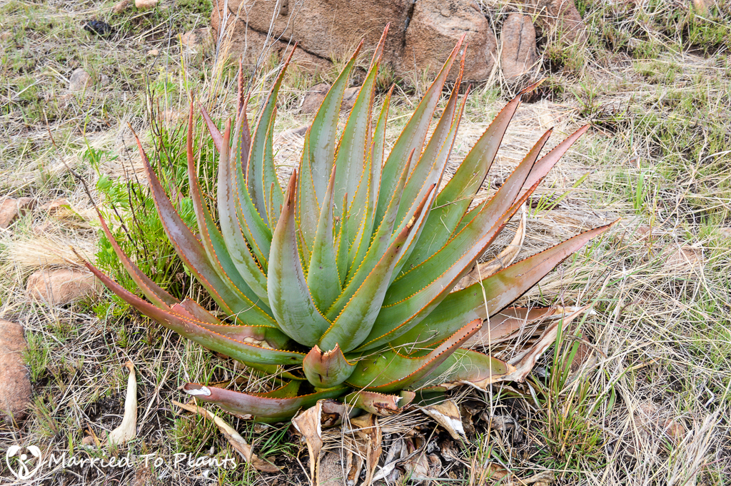 Aloe macroclada in Andringitra