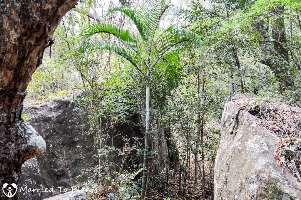 Dypsis albofarinosa at Camp Catta