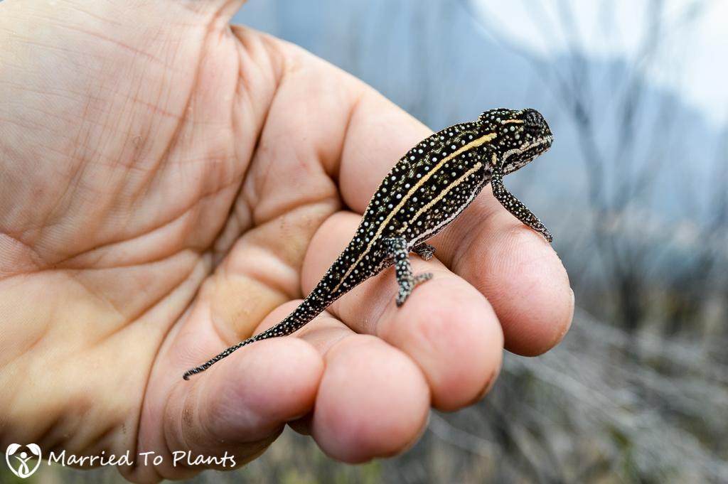 Jeweled Chameleon in Andringitra