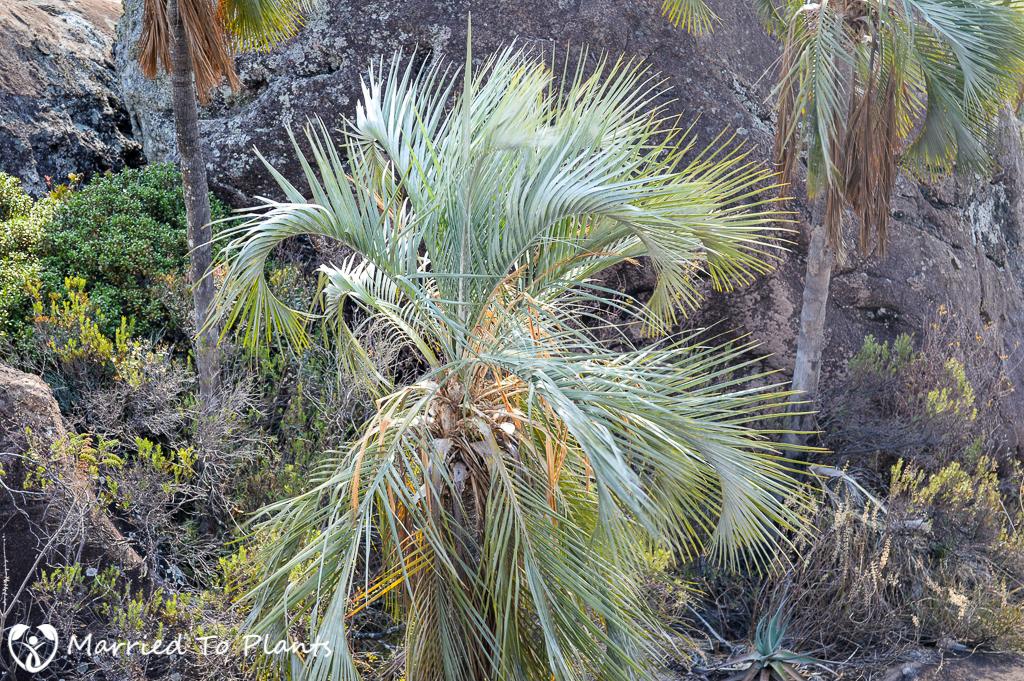 Blue Ravenea glauca in Andringitra