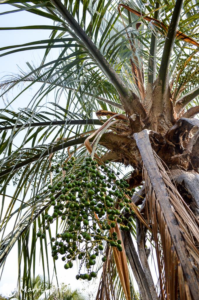 Ravenea glauca Seeding in Andringitra