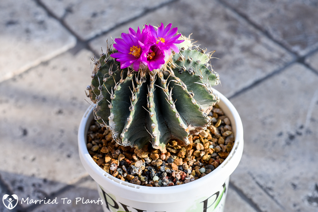 Geohintonia mexicana Flower