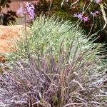 Society Garlic 'Purpleicious' – REVIEW