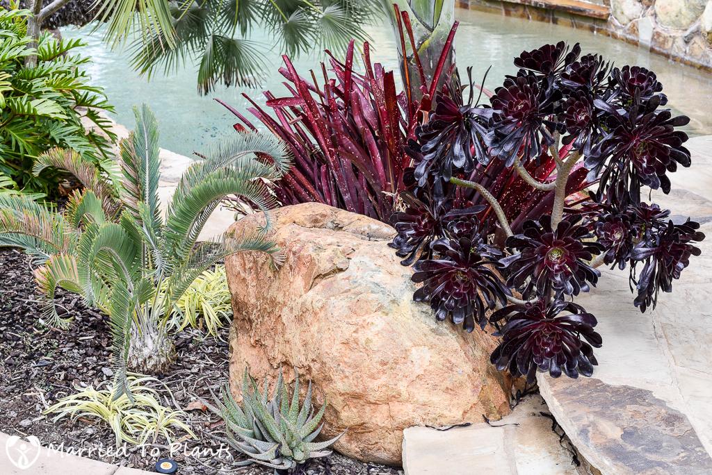 Black and Blue Aeonium arboreum 'Zwartkop'