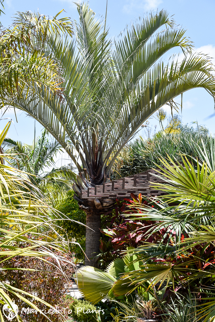 Black and Blue Dypsis decaryi
