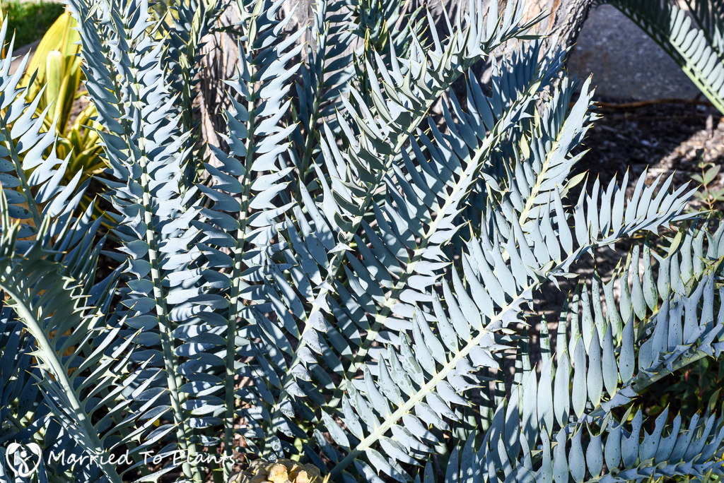 Black and Blue Encephalartos horridus Closeup