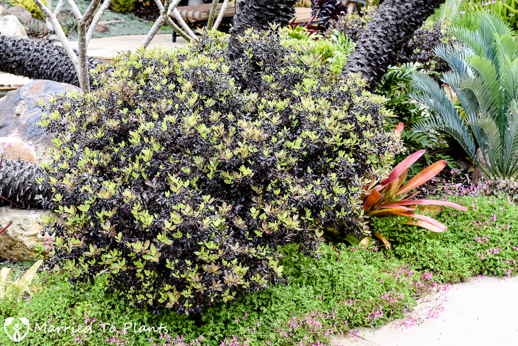 Black and Blue Pittosporum tenuifolium 'Tom Thumb'