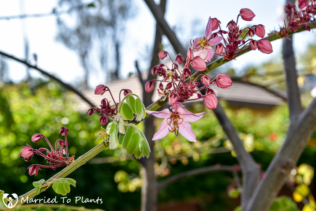 Cassia bakeriana First Flower