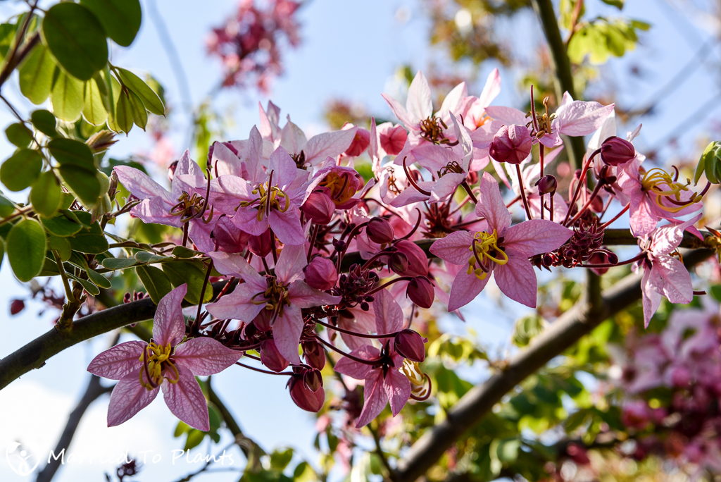 Cassia bakeriana Flower Cluster