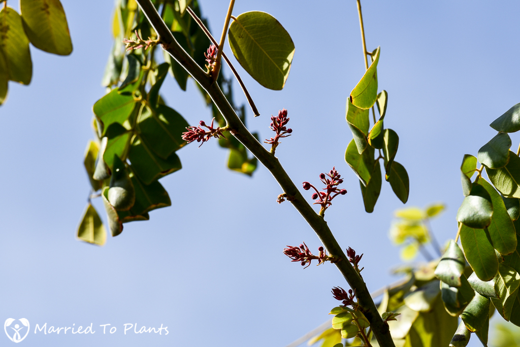 Cassia bakeriana Flower Buds