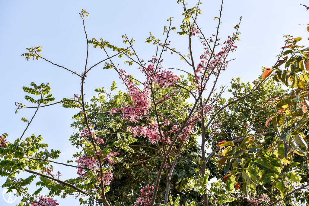 Cassia bakeriana in Flower