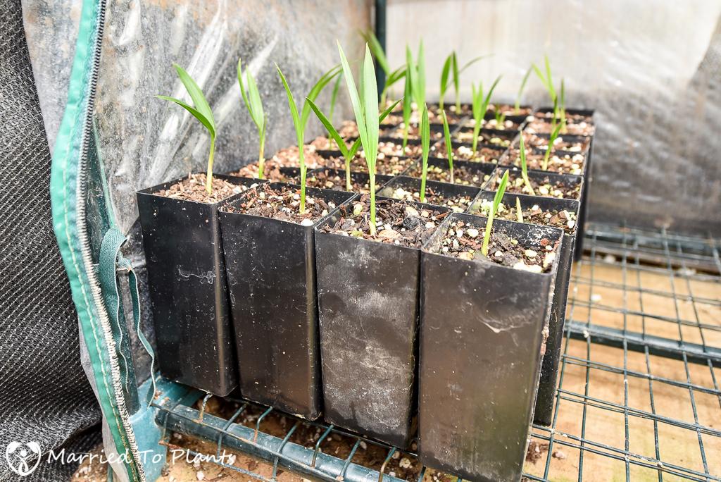 Seedlings of Dypsis 'Black Stem' from Mantadia National Park