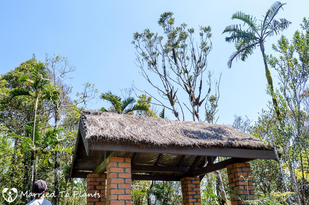 Maromizaha Reserve Dypsis 'Black Stem'